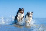 Deux Bergers Australiens courent dans les vagues
