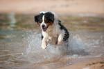 Un Berger Australien joue et saute dans les vagues