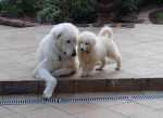 Loup y su hijo Nilo - Kuvasz Maschio (3 anni)