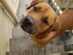 Butch - Levriero ungherese Maschio (5 anni)
