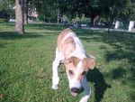 Ivàn - Levriero ungherese Maschio (7 mesi)