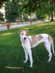 Ivàn Le Terrible - Levriero ungherese Maschio (7 mesi)