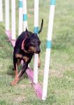 Toy - Terrier di Manchester Maschio