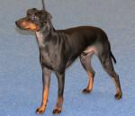 Koira - Terrier di Manchester