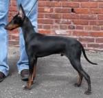 Maxx - Terrier di Manchester Maschio (2 anni)