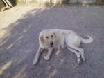 ruth - Mastino Spagnolo (4 anni)
