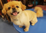 Charlie - Pechinese Maschio (5 anni 9 mesi)