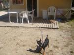 Blacky protège la maison ! - Pinscher nano Maschio (2 anni)