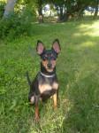Blacky - Pinscher nano Maschio (3 anni)