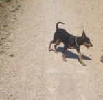 Blacky en promenade - Pinscher nano Maschio (2 anni)