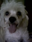 Dixie - Pudelpointer (3 anni)