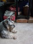 Bethoven - Schnauzer medio Maschio (5 anni)