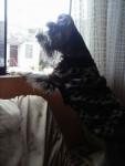 Sasky - Schnauzer medio Maschio (2 anni)