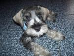 Doggy - Schnauzer medio Maschio (10 mesi)