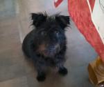 My schnauzer - Schnauzer medio (6 anni)