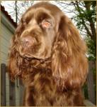 Elastic - Sussex Spaniel (2 anni)