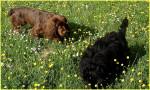 Elastic dans la prairie - Sussex Spaniel (2 anni)