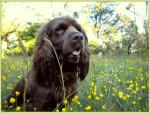 Elastic en las flores - Sussex Spaniel (2 anni)