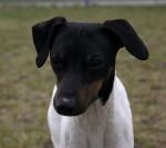 Foto Terrier giapponese