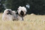 Le magnifique Iboubou de la Vallée Céleste - Terrier tibetano