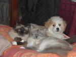 Kaminouz et ses complices, sacrés de Birmanie - Terrier tibetano
