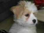 Kaminouz petite Terrier Tibétaine de 4 mois - Terrier tibetano (4 mesi)