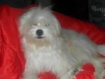 Kaminouz a 9 mois - Terrier tibetano (9 mesi)