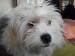 Portrait Kaminouz Terrier du Tibet a 9 mois - Terrier tibetano (9 mesi)