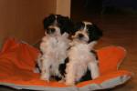 Deux adorables chiots Terriers du Tibet - Terrier tibetano