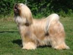 Sassy - Terrier tibetano (2 anni)