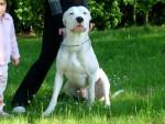 sako - Dogo argentino Maschio (7 mesi)