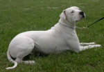 Chance - Dogo argentino Maschio (1 mese)