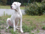 Demon, 8 mois - Dogo argentino (8 mesi)