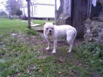 biloute - Dogo argentino Maschio (6 mesi)