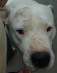 Branco :3 - Dogo argentino Maschio (6 anni)