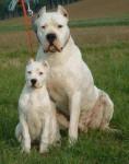 Dalasse et Lady - Dogo argentino Maschio (1 mese)