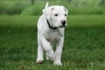 epsi - Dogo argentino (2 mesi)
