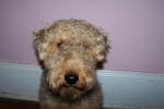 Cardiff - Welsh Terrier Maschio