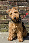 Foto Welsh Terrier