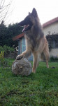 Lasko et son ballon - Pastore Belga Tervurense Maschio (1 anno)