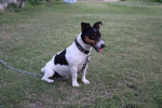 Foto Jack Russell