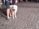 Cane di una mostra canina - Pastore abruzzese e maremmano