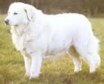 Dog - Pastore abruzzese e maremmano