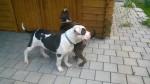 Jack & Paul (Tierheim) - Bulldog americano Maschio (6 mesi)