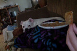Lambchop - Bulldog americano (6 anni)