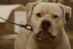 Foto Bulldog americano