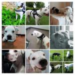 MEIKO - Bulldog americano Maschio (2 anni)