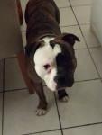 Guidance - Bulldog americano Maschio (11 mesi)