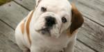 mike - Bulldog americano Maschio (2 anni)