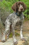 Lilly - Bracco dell'Ariège (11 mesi)